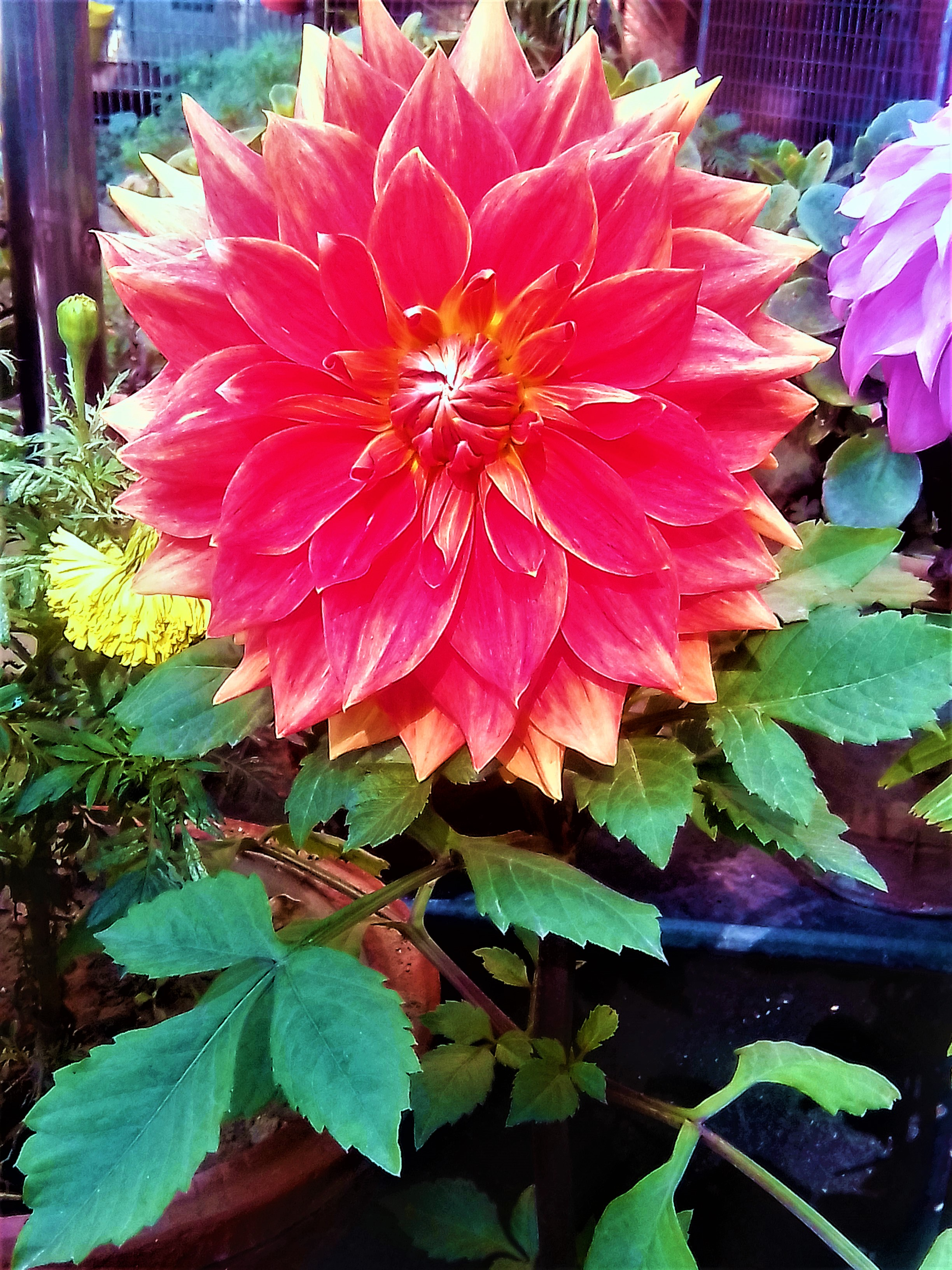 The Red dahlia flowers information