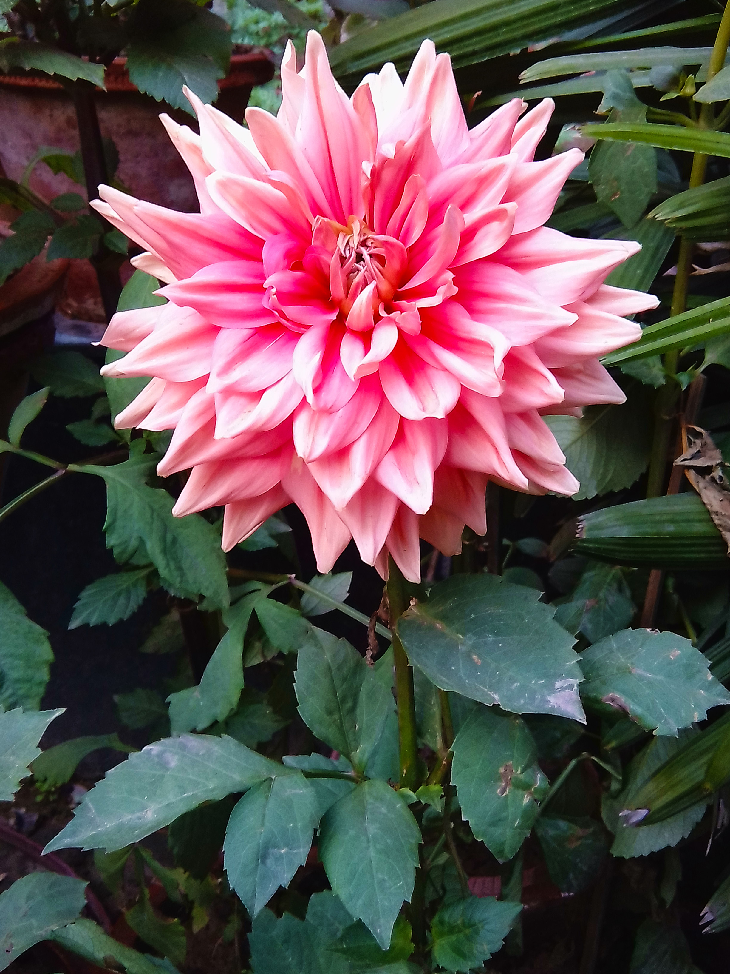 The Pink dahlia flowers information