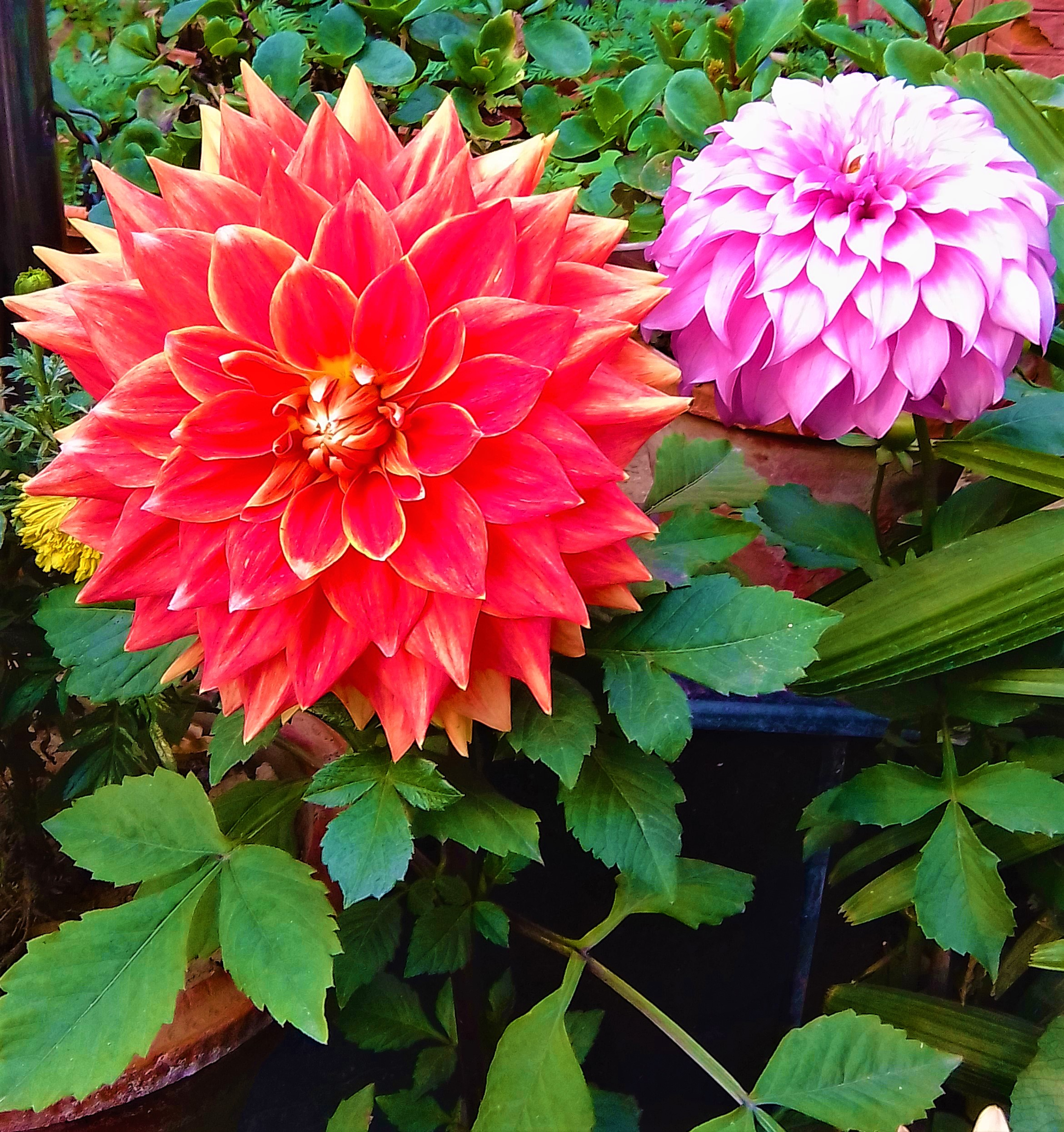 The Dahlia flowers have 42 breed.