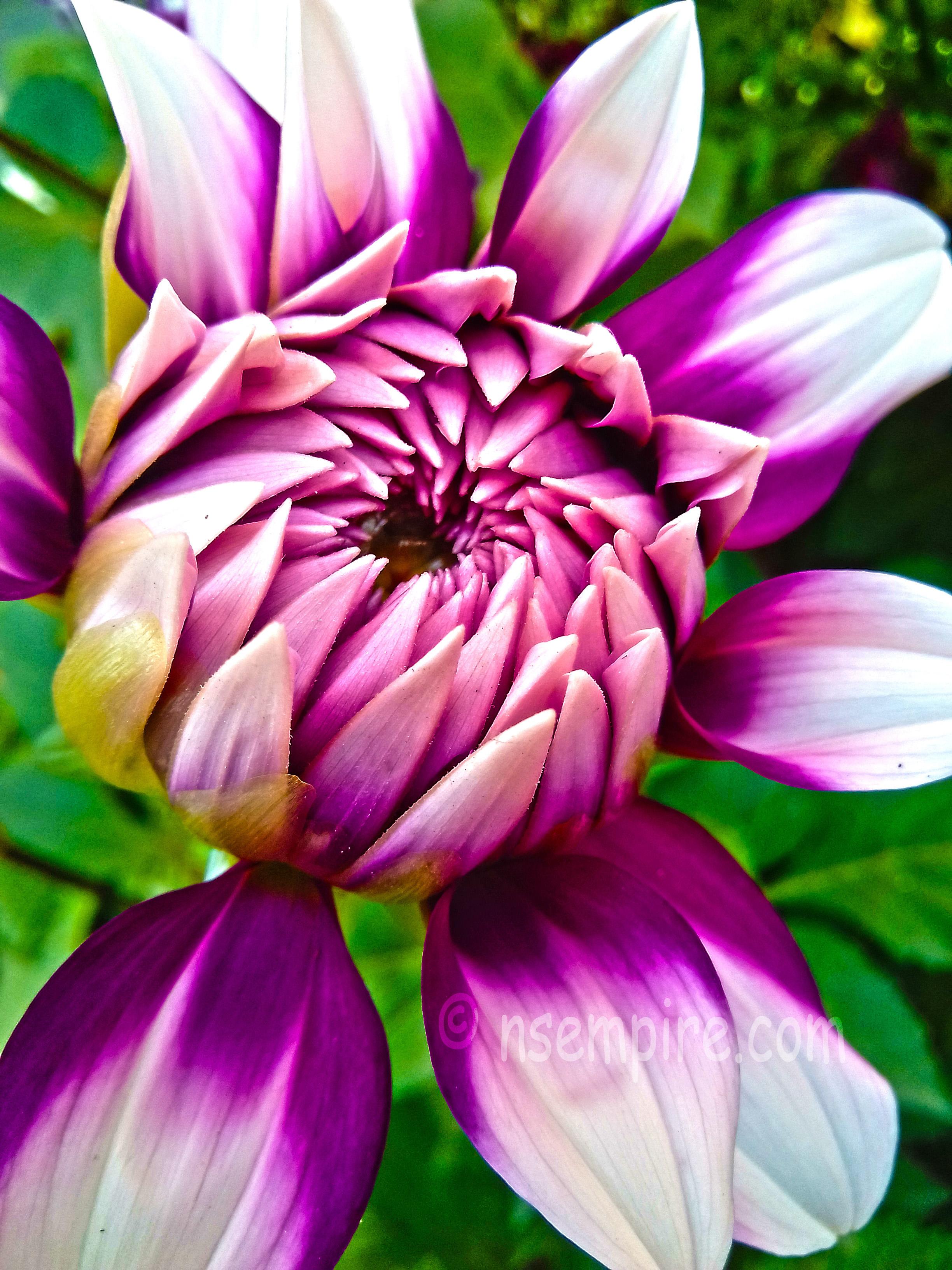 This flower is Jowey Winnie dahlia