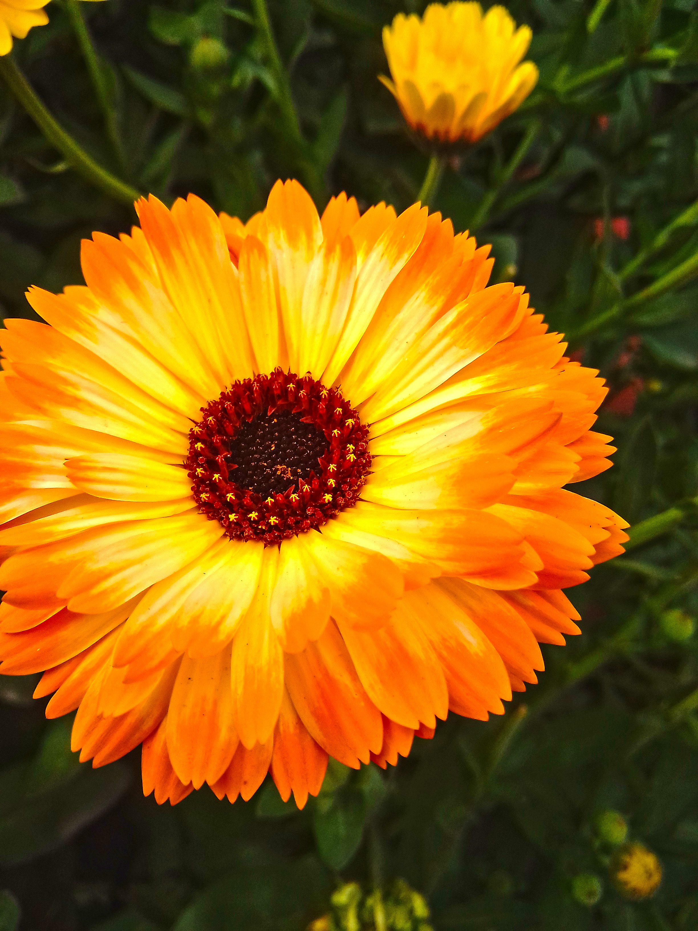 Photography of Pot Marigold flower