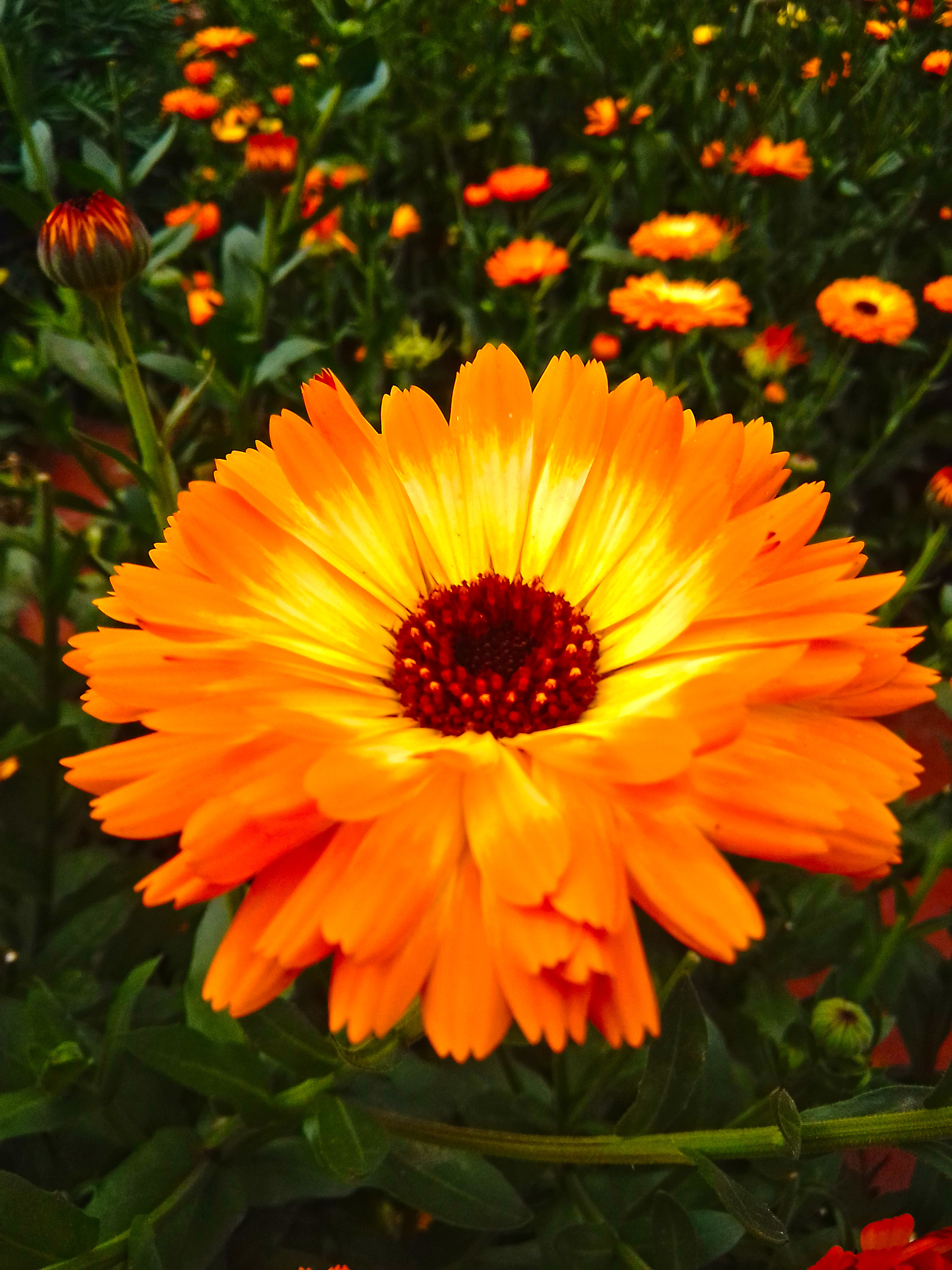You can see here Pot Marigold Photography
