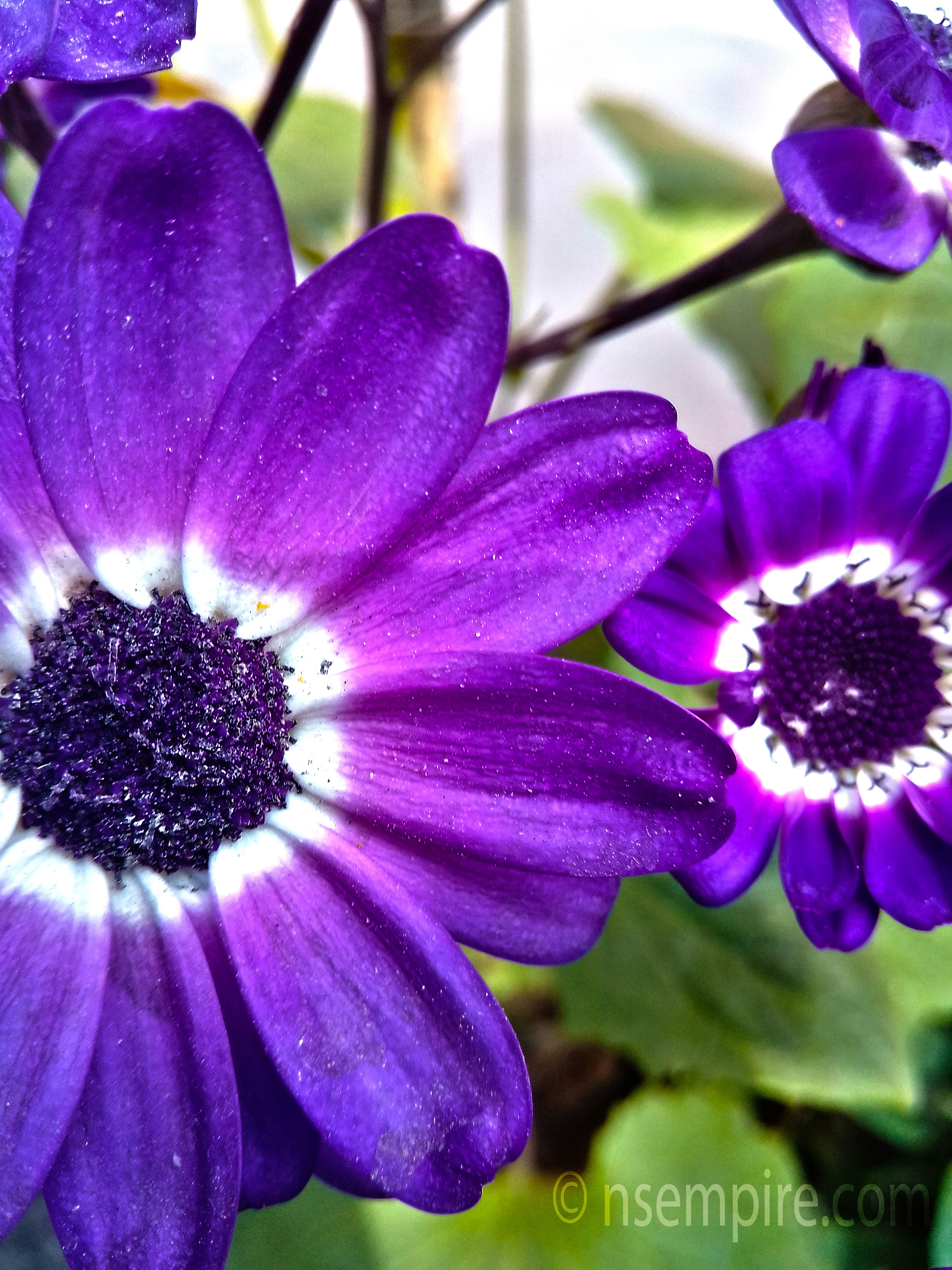 this pericallis flower is beautiful