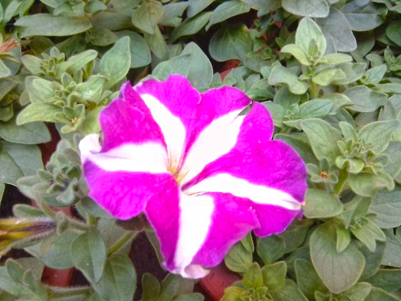 Petunias flower have two colors.
