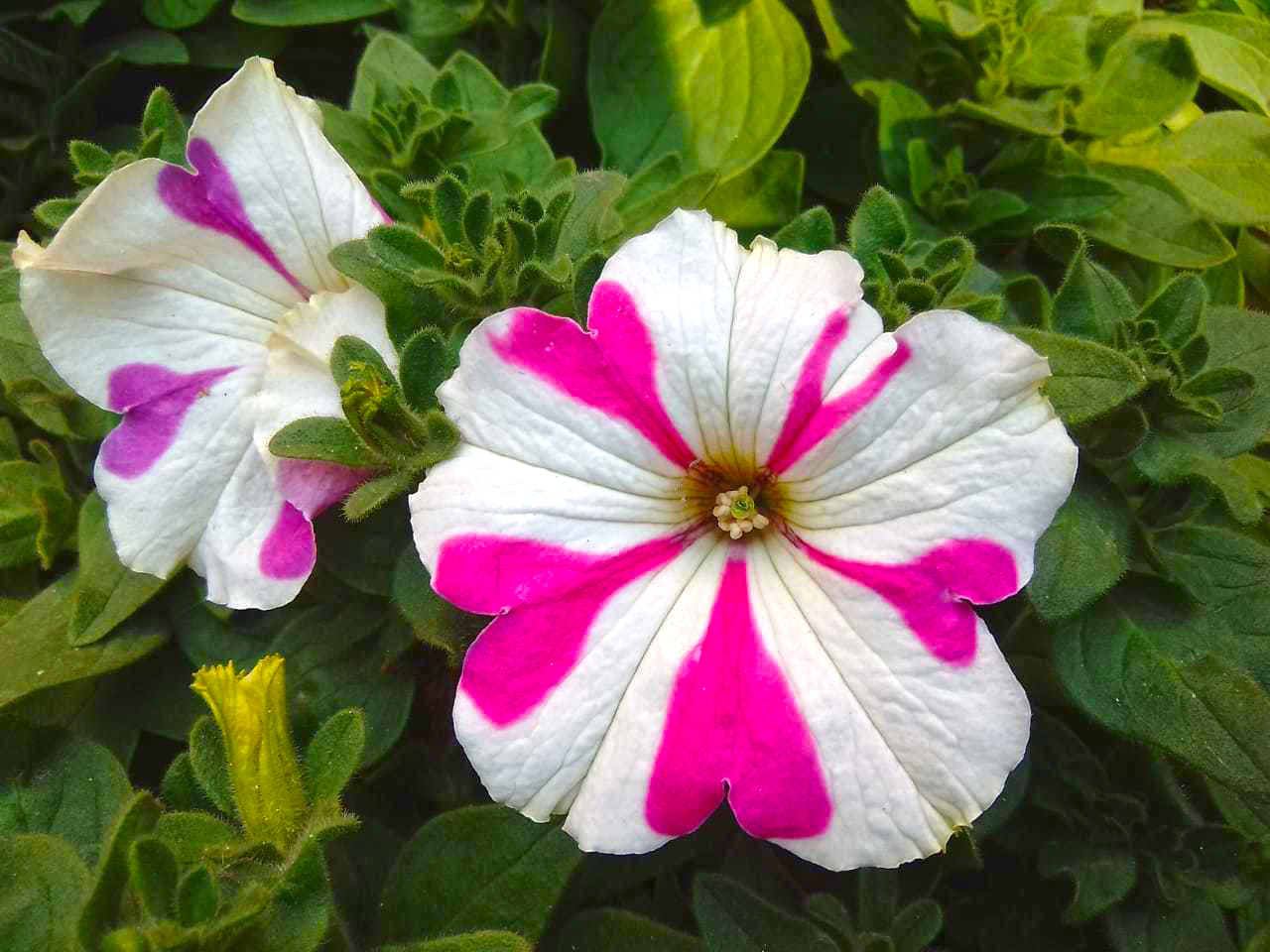 This flower name is Petunias.