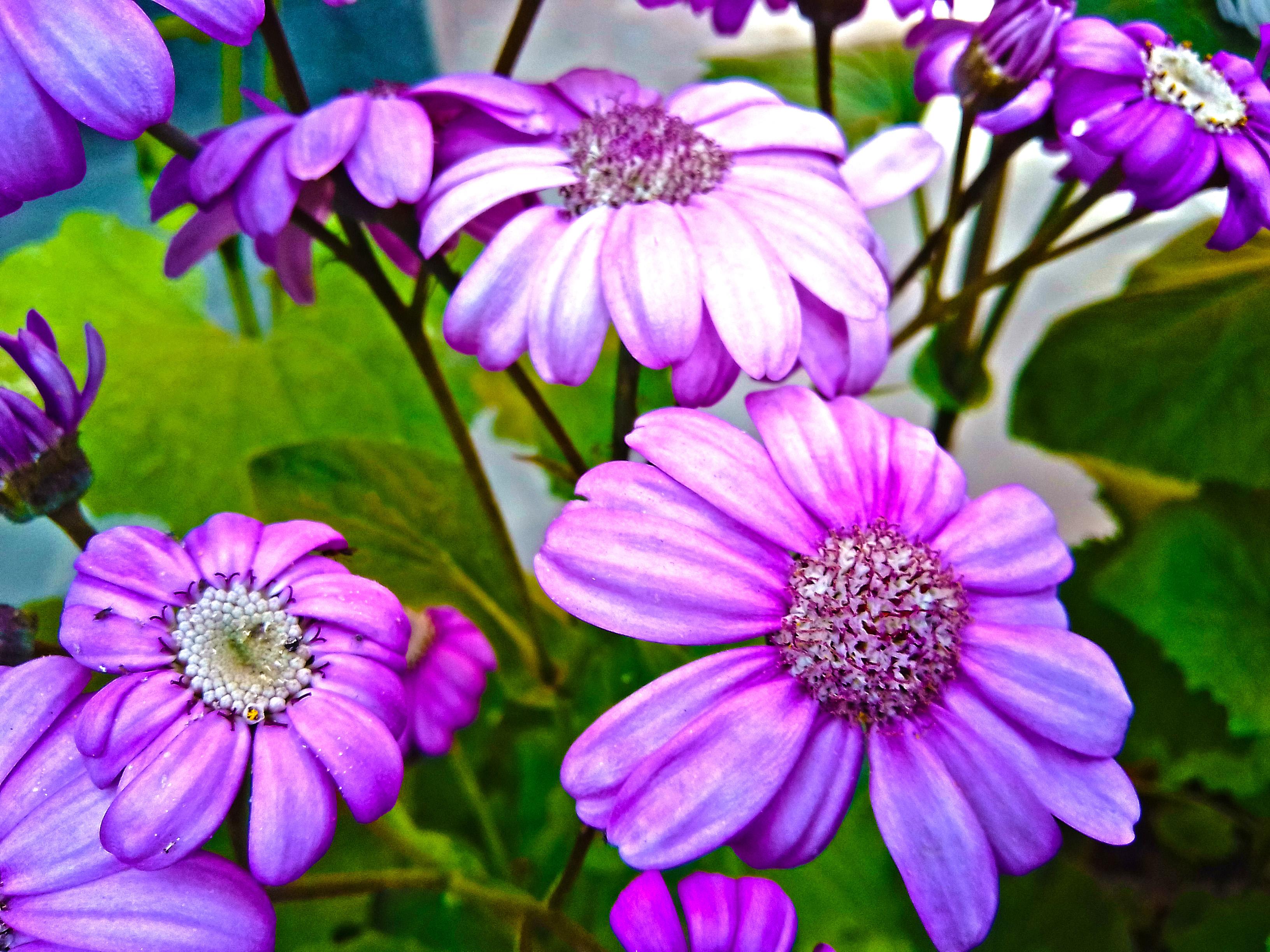 HD flower Wallpaper of Senecio Cruentus