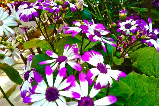You can check here more Senetti flowers HD Photos