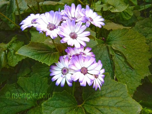 Free Picture of Senetti Light Blue Bicolor