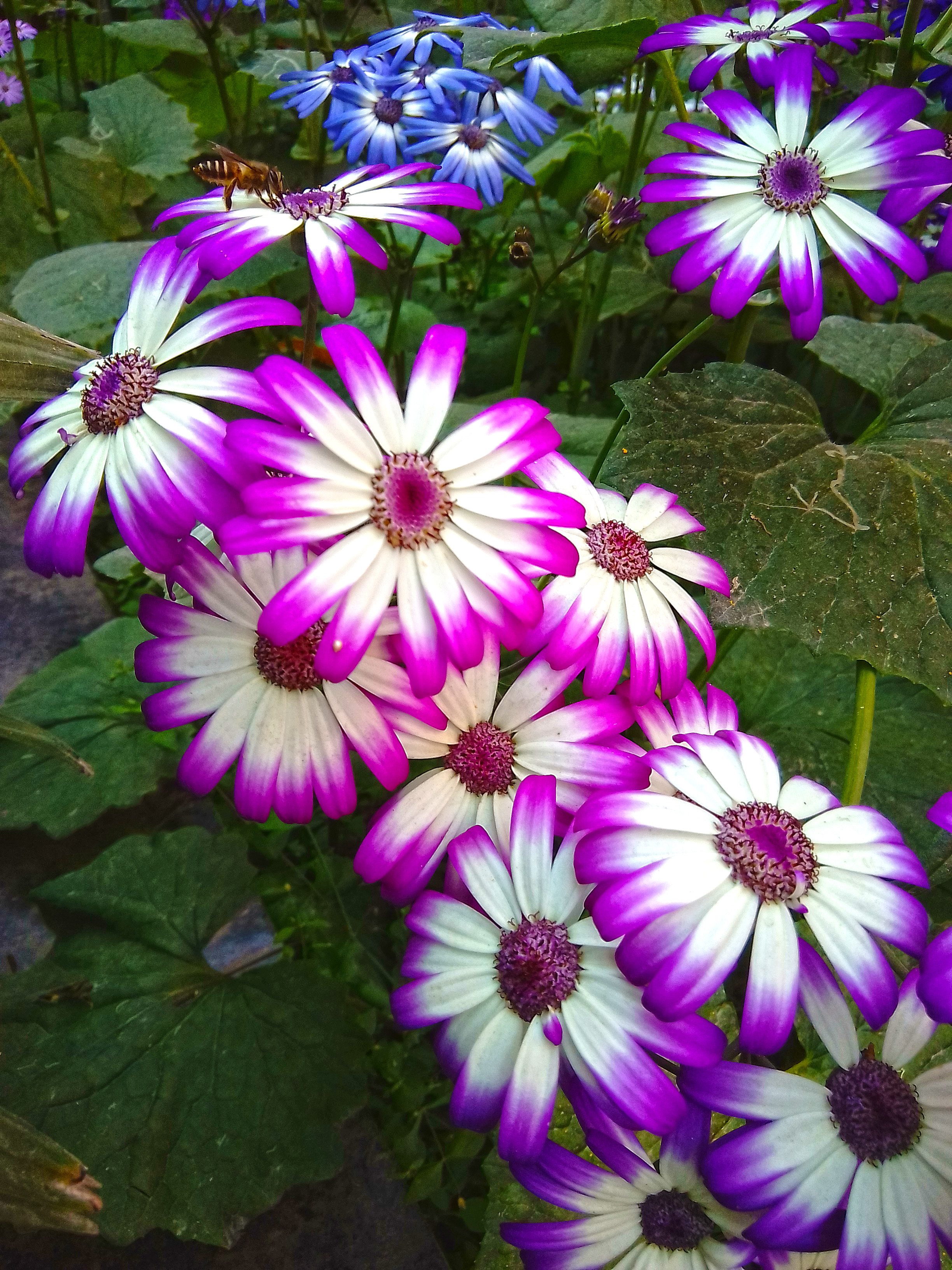 Senetti flowers Photo is very beautiful