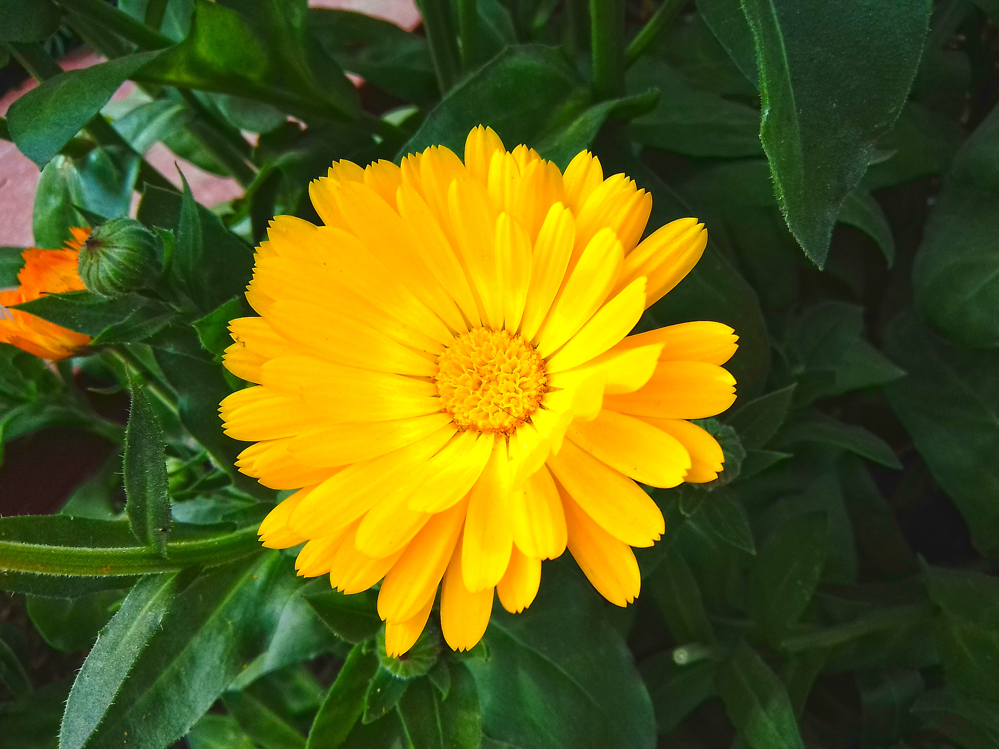 People use calendula flower to make a variety of medicines.