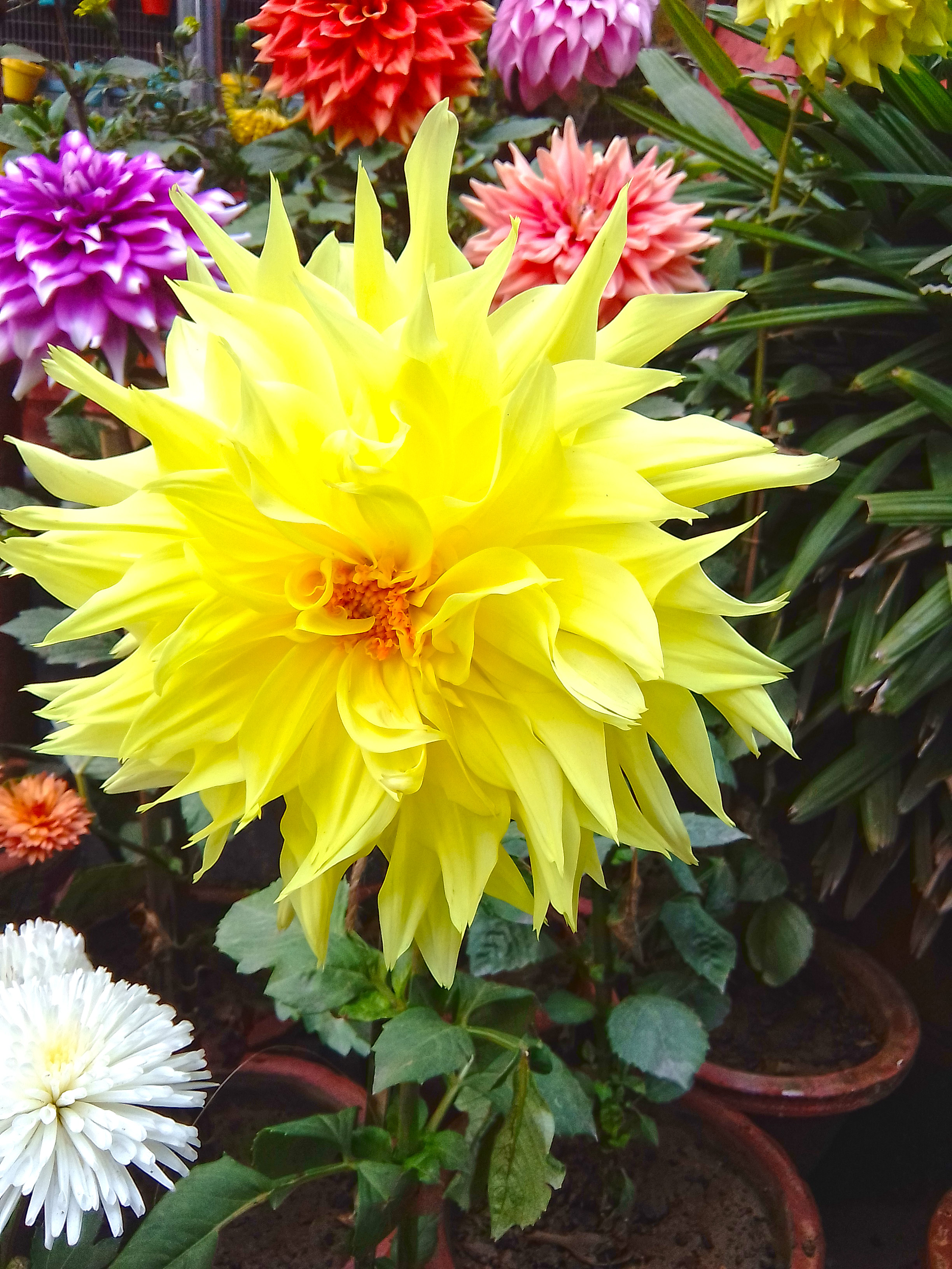 Dahlia flowers information we are giving you.