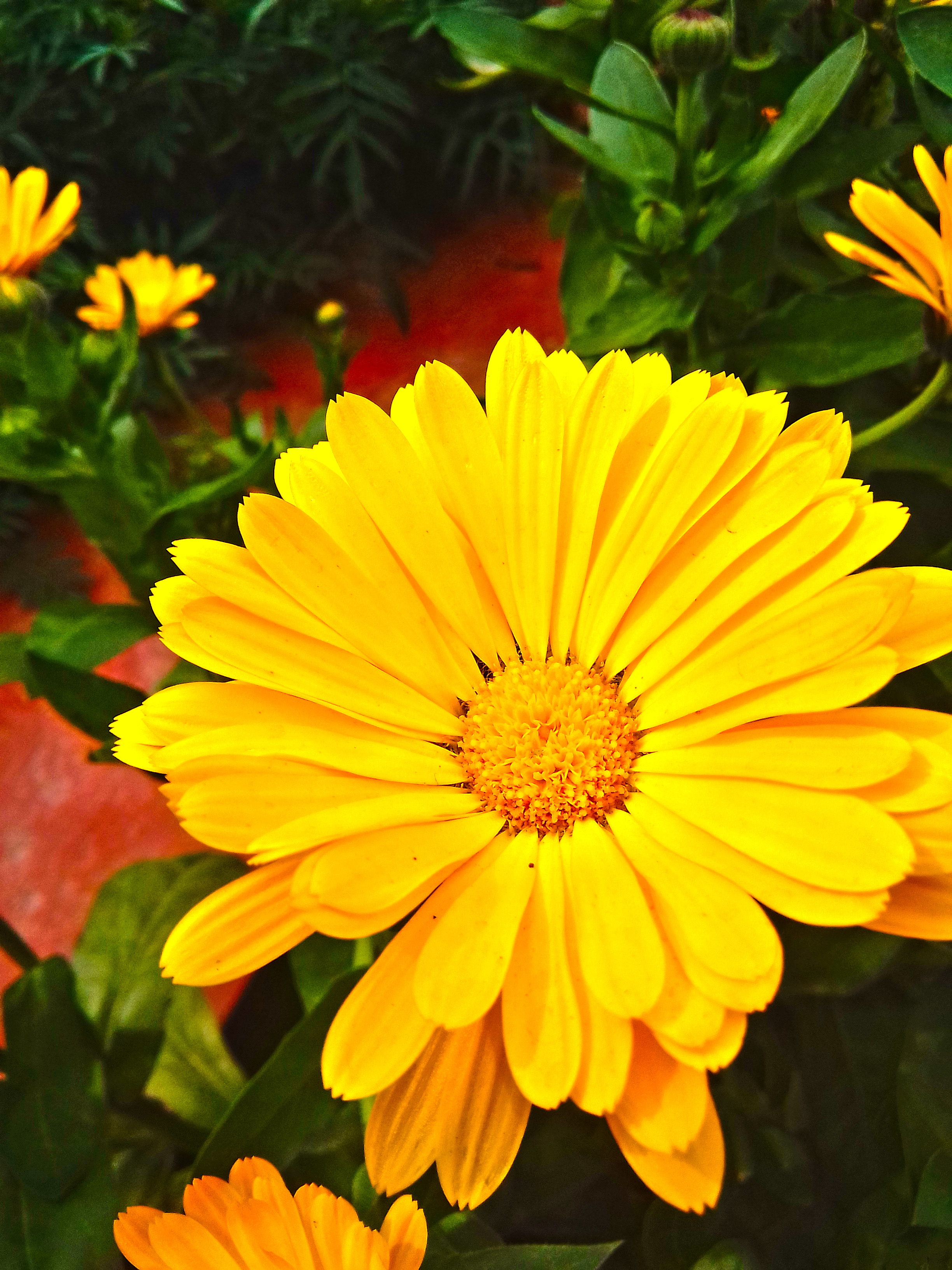 marigold is a beautiful flower