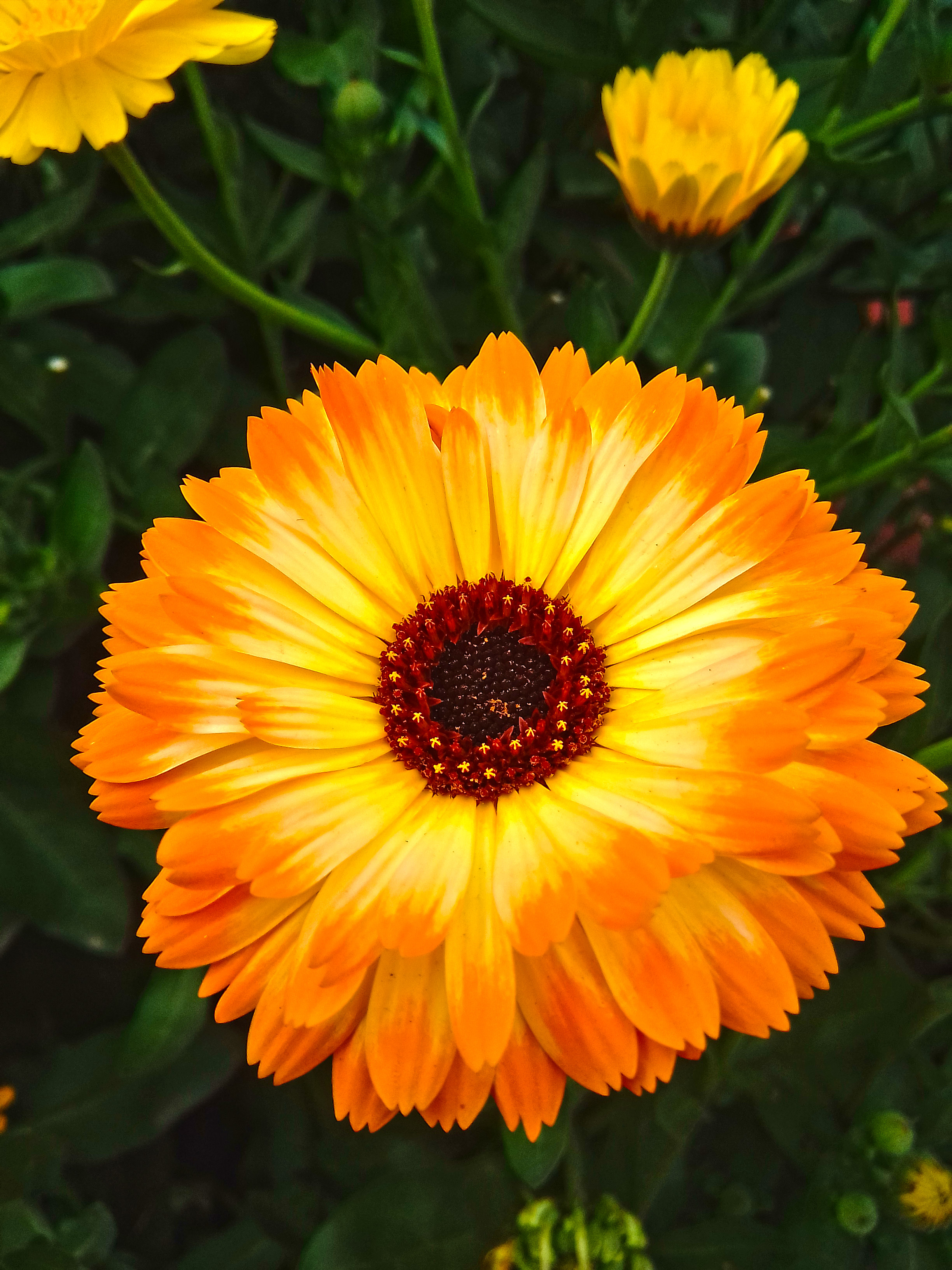 you can download here Pot Marigold Photography