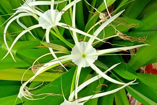 Spider Lily-White Flower image