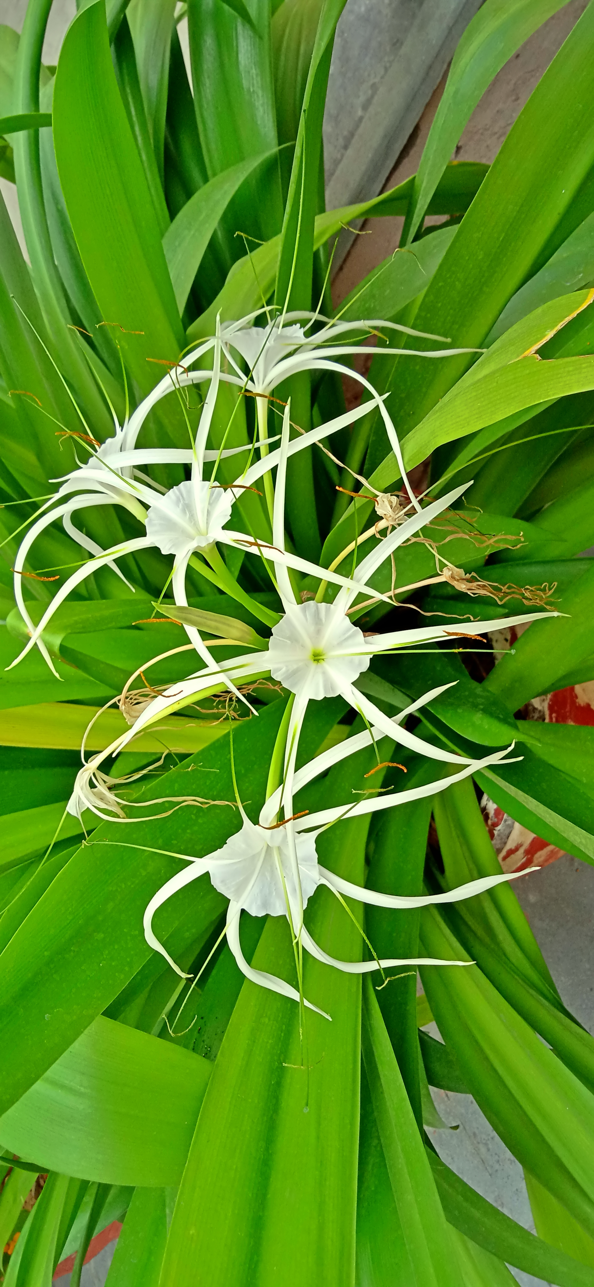 Spider Lily-White Flower image