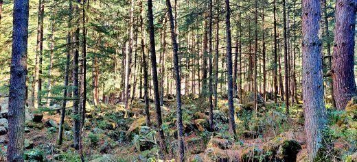 trees in evergreen forest