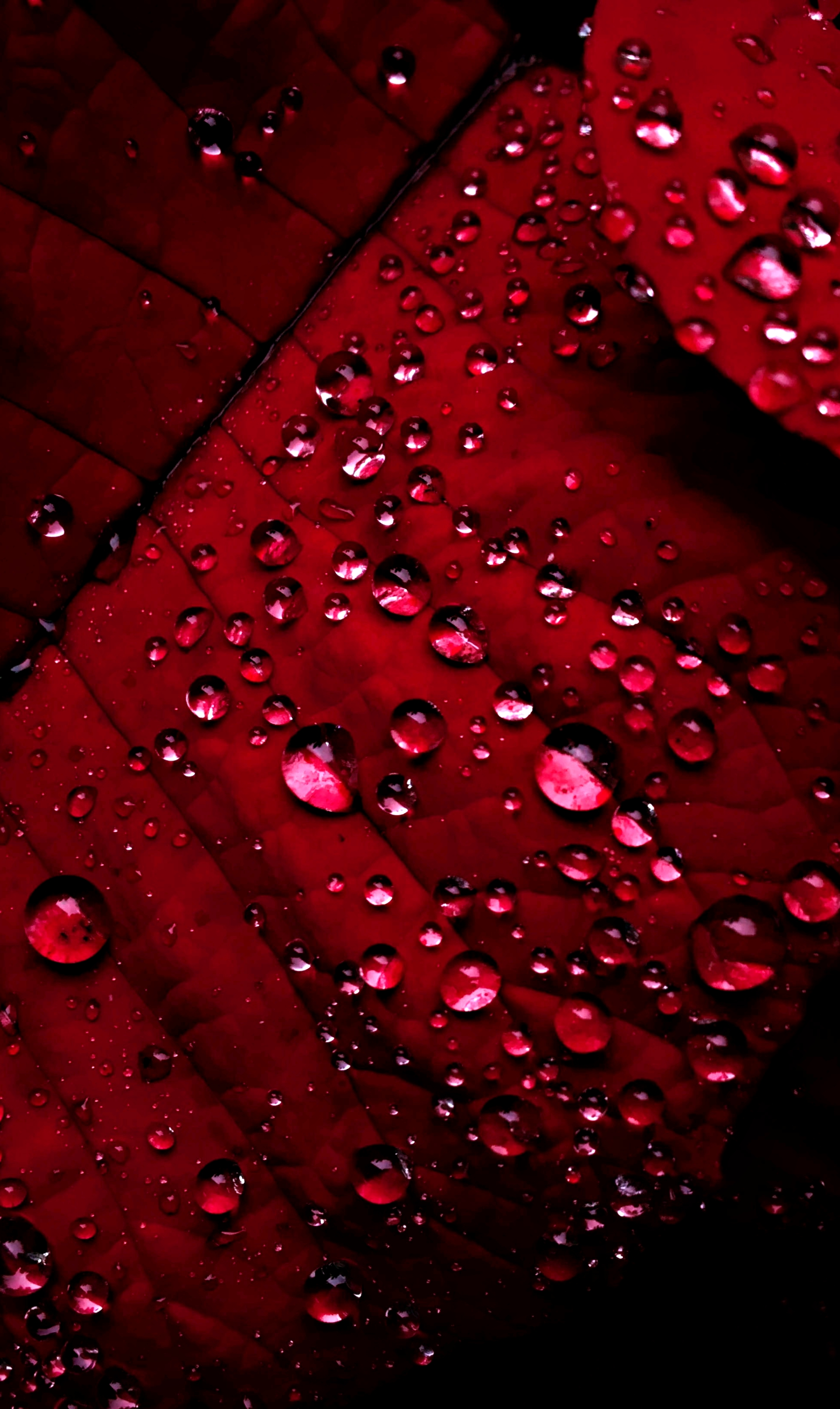 Water Droplets or Dews on Beautiful Red leaves