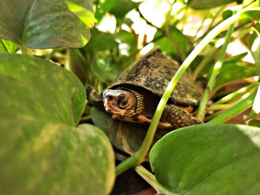 Cute Turtle in money plant pot